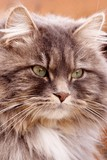 long-haired tabby poster
