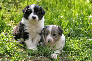 two young border collies