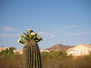 blossoming saguaro i