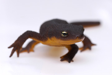 newt on white background