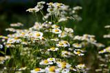 wild daisies - oregon wildflowers poster