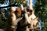 tree monkeys lookin for fleas poster