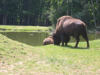 arrière-train de bison broutant