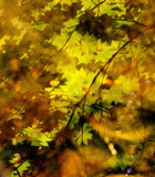 vine maple reflections poster