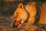feeding lion poster