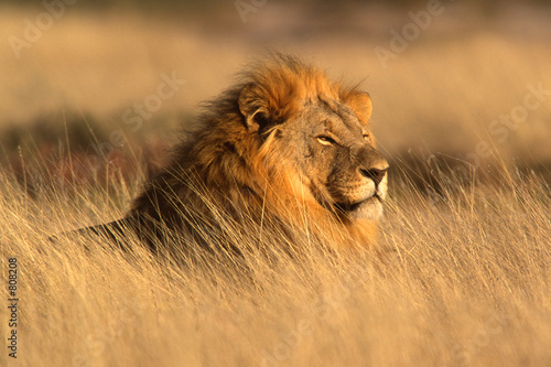 Canvas Afrika big male lion