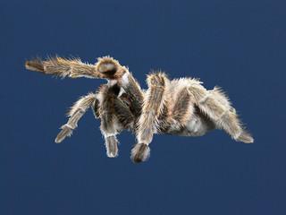 vogelspinne