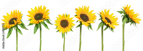 sunflowers - 814278