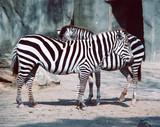 Fototapete Tierpark - Streifen - Säugetiere