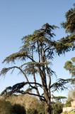 umbrella pine in pincio garden, rome, italy poster