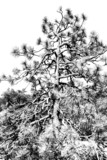 monochrome pine tree poster