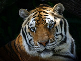 Fototapeta Panthera - Tigris - Dziki Ssak