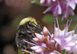 bumblebee on lilac 1