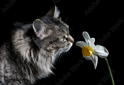 poster of cat and narcissus
