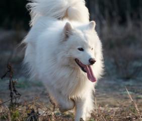 samoed's dog