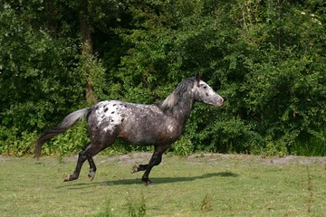 galopping horse