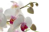 orchidée pholenopsis