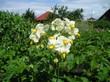 potatoes flower