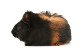dr. fuzz (pet guinea pig) over white background poster