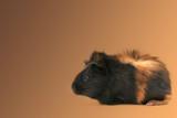 dr. fuzz (pet guinea pig) poster