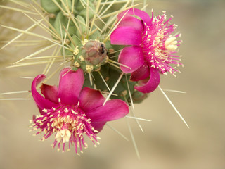 arizona cholla cactus blossoms