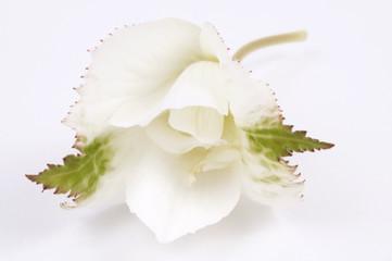 white begonia on the white background