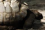 aldabra giant tortoise poster