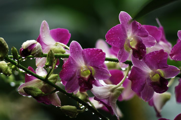 dewy orchid