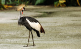 african grey crowned crane balearica regulorum poster