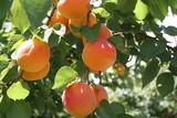 peaches ready to pick