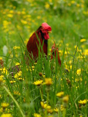 cock in grass