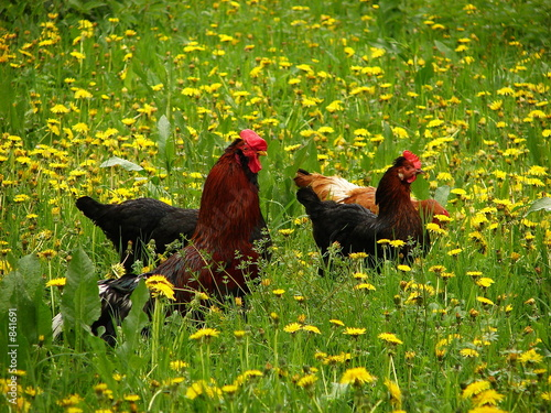roster and chicks in long grass