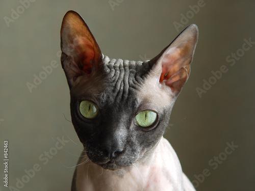 poster of bald cat
