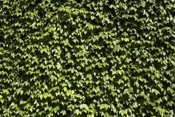 common english ivy