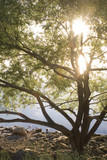 sunshine tree poster