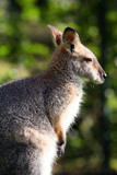 wallaby looking right poster