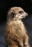 meerkat looking right poster