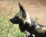 african wild dog (lycaon pictus) poster