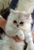 white kitten poster