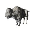 bison pencil sketch two poster