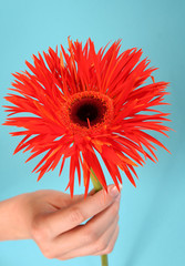 hand holding an orange gerbera