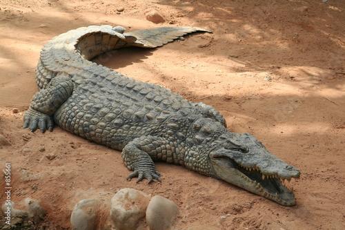 Fototapeten Krokodile le crocodile
