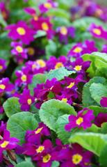 primevères violette