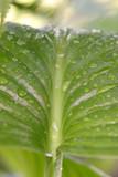 hosta leaf after the rain poster
