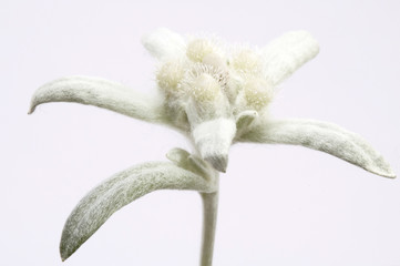 edelweiss. white and green