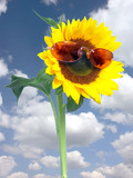 sunflower with pink sunglasses poster