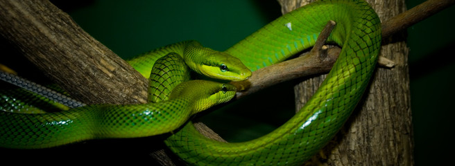 green snake couple
