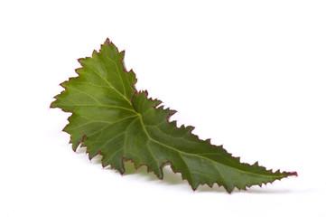 houseplant. begonia. leaf