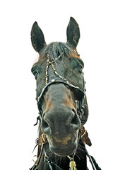 muzzle horse