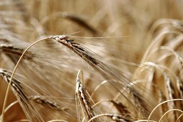 épi de blé 10